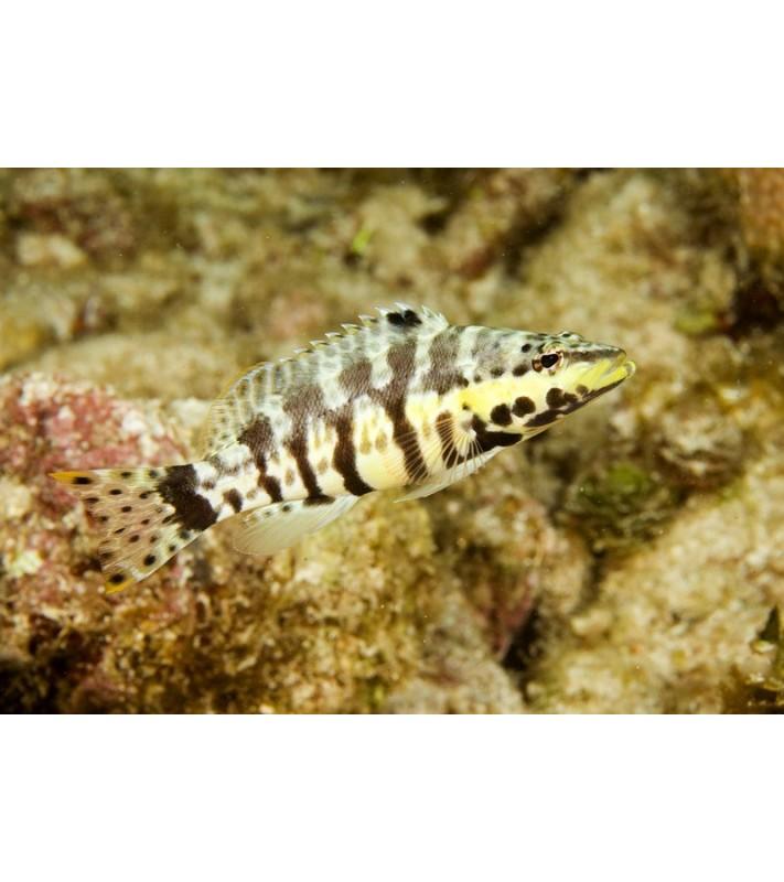 Serranus tigrinus