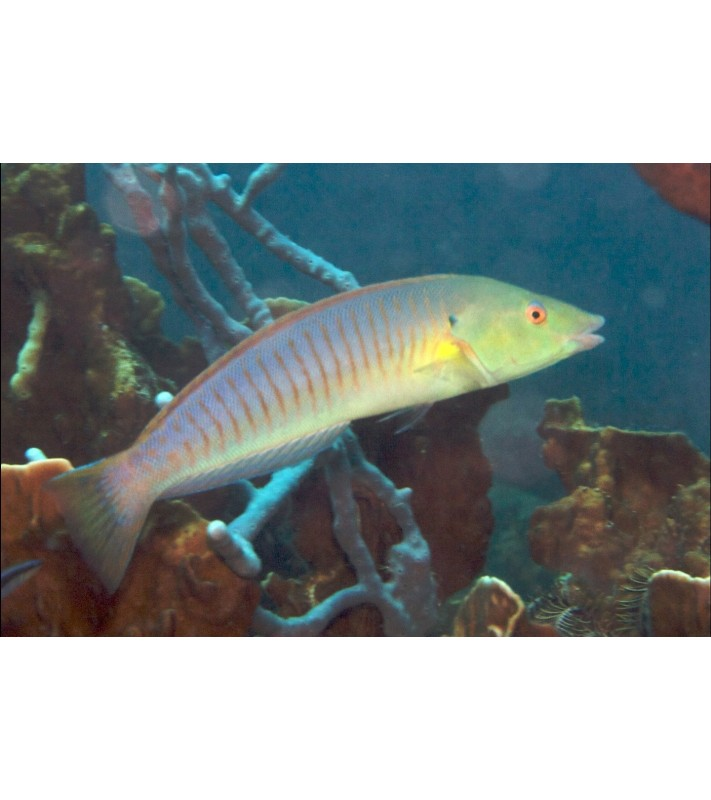 Hologymnosus doliatus Mauritius