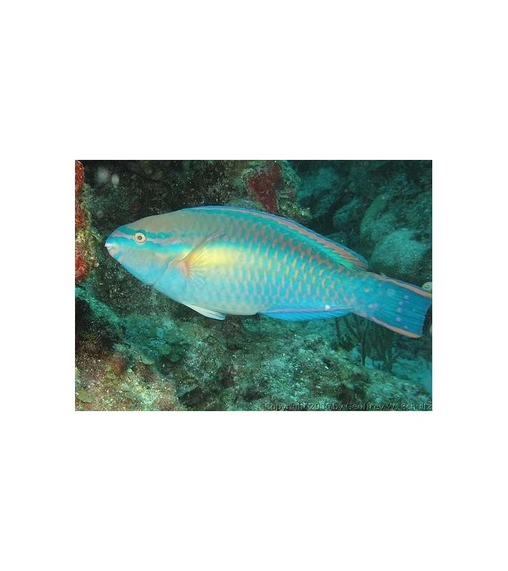 Scarus taeniopterus