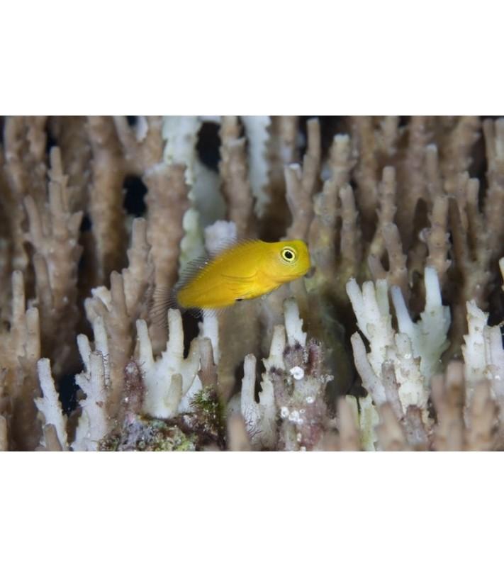 Meiacanthus oualensis Fiji