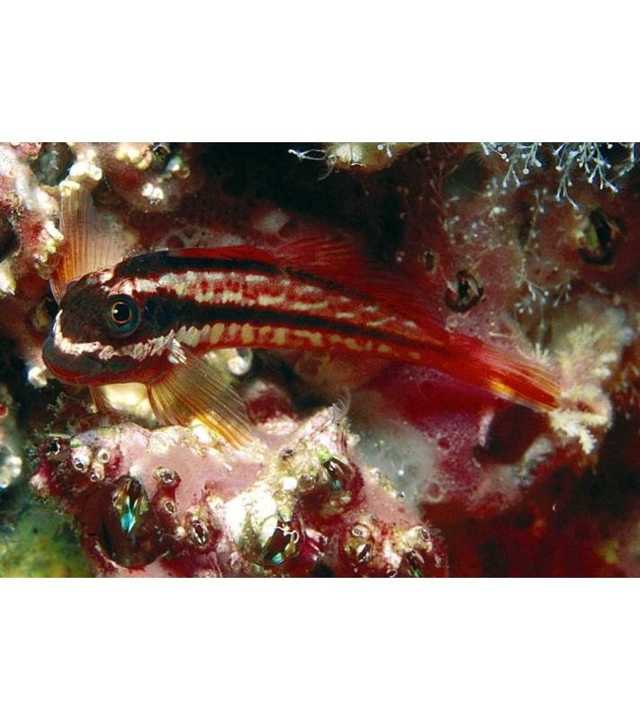 Hypsoblennius brevipinnis