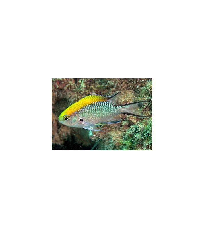 Chromis nitida Australia