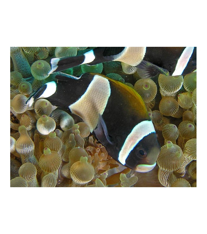 Amphiprion latezonatus Australia
