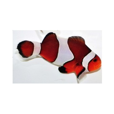 Amphiprion ocellaris vivid Fancy
