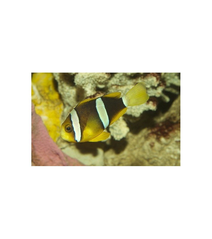 Amphiprion clarkii yellow fin