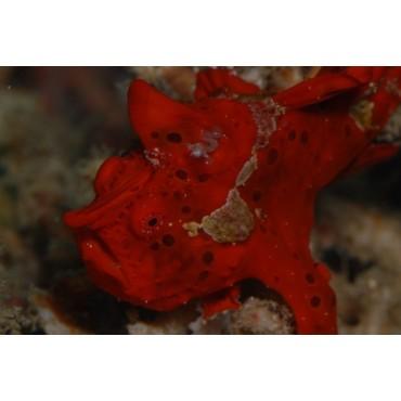 Antennarius sp. (red)