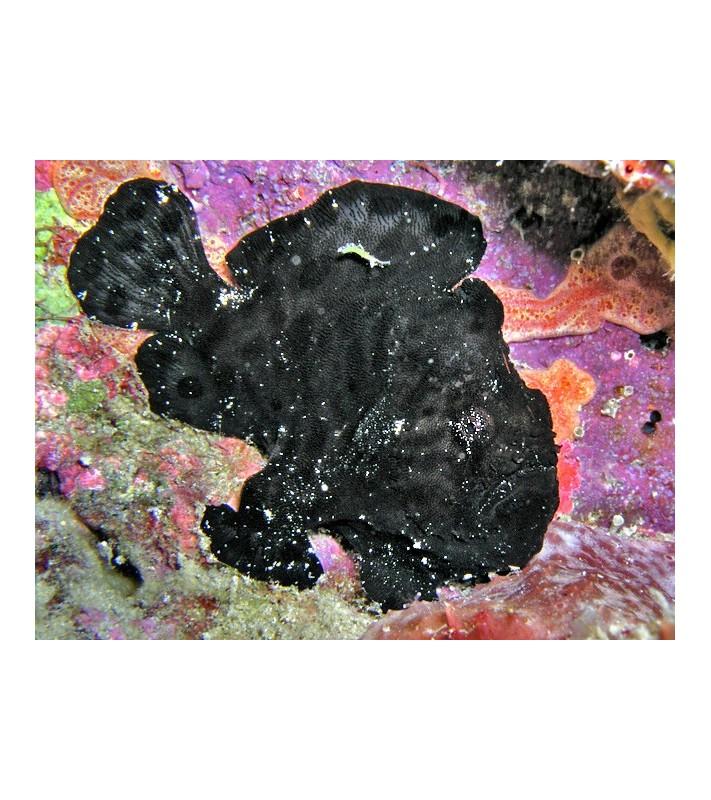 Antennarius sp. black