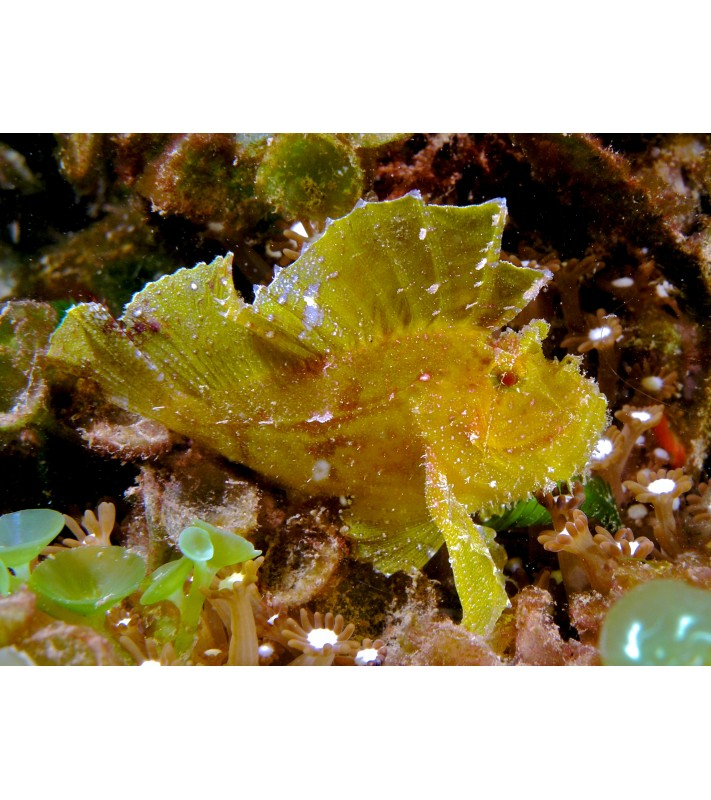 Taenianotus triacanthus yellow