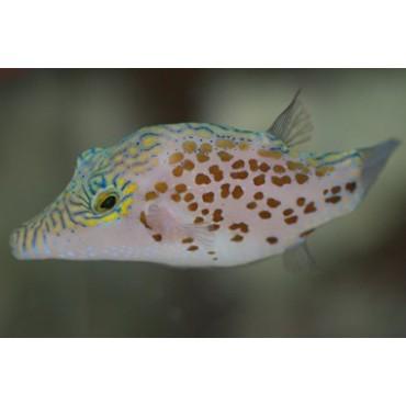 Canthigaster leoparda
