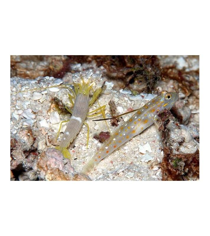 Ctenogobiops tangaroai