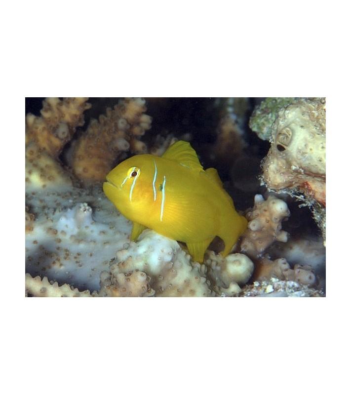 Gobiodon citrinus Red Sea