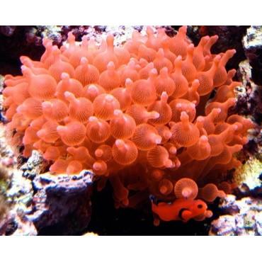 Entacmaea quadricolor red