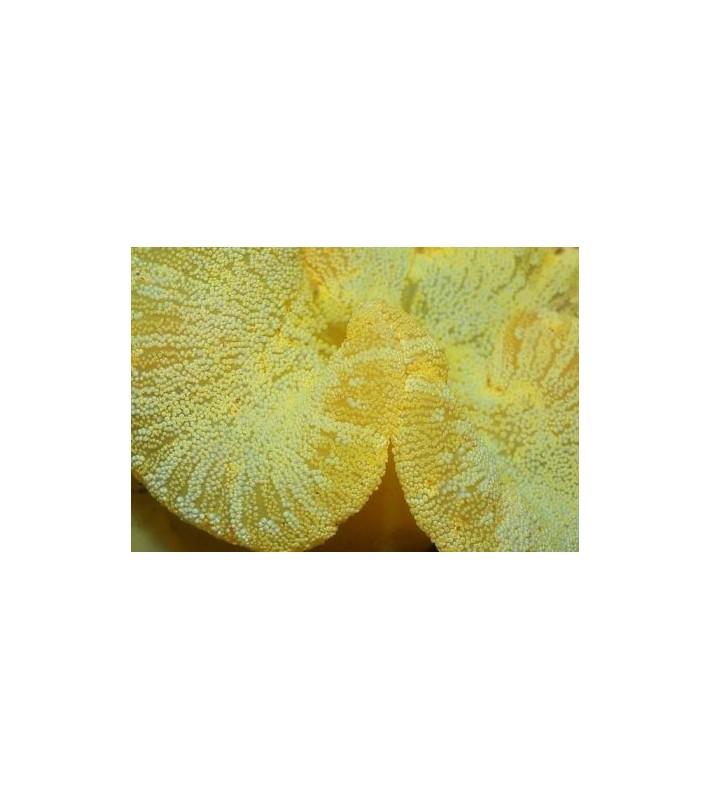 Stichodactyla haddoni yellow
