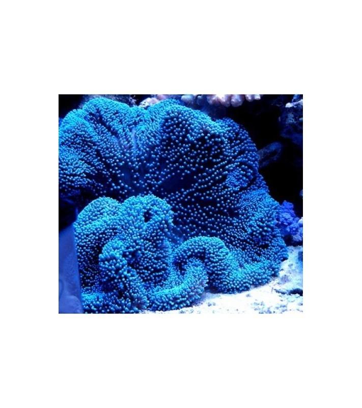 Stichodactyla haddoni blue