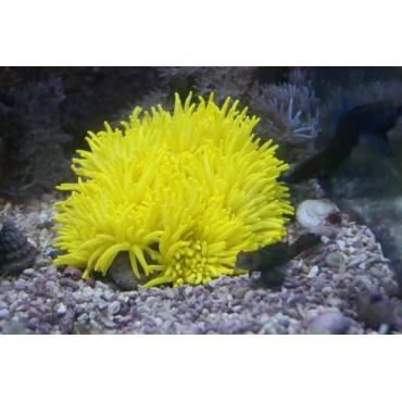 Heteractis crispa yellow