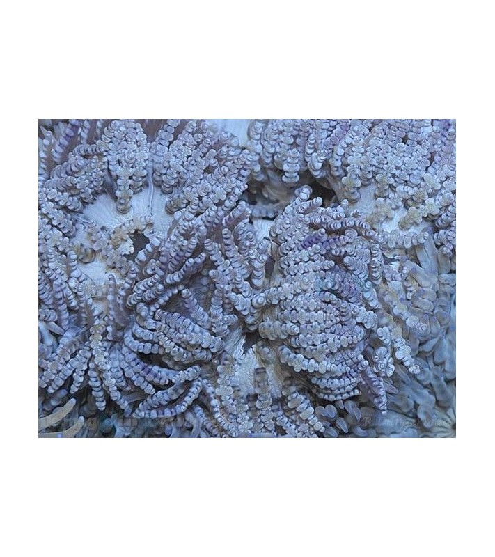 Small sand anemone