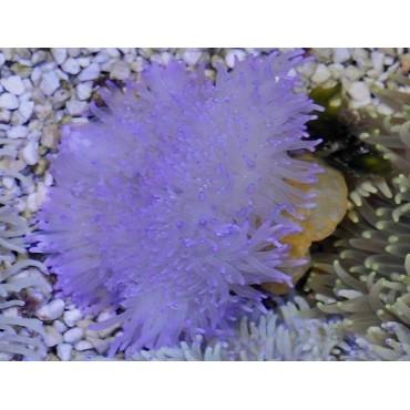 Sand anemone purple