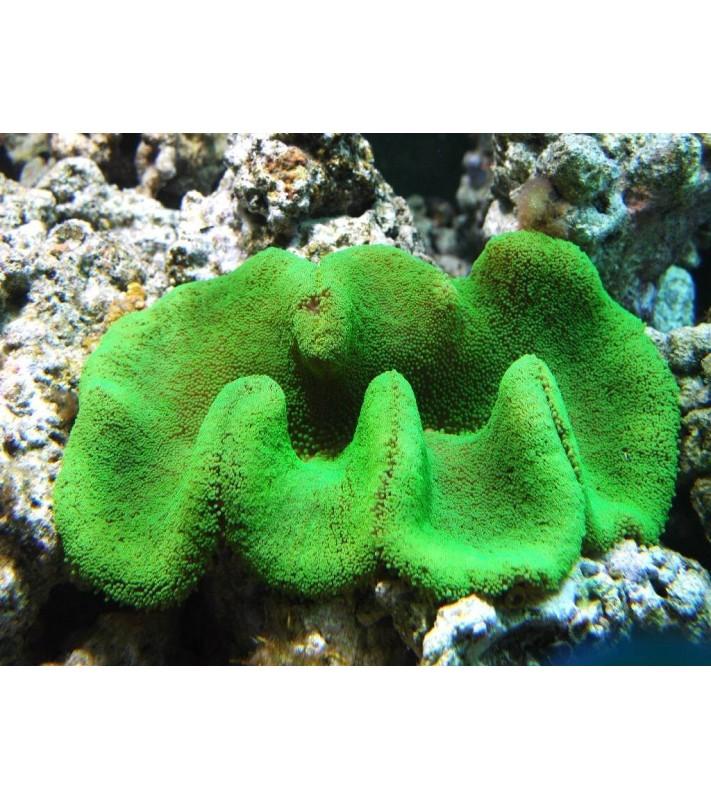 Stichodactyla haddoni green