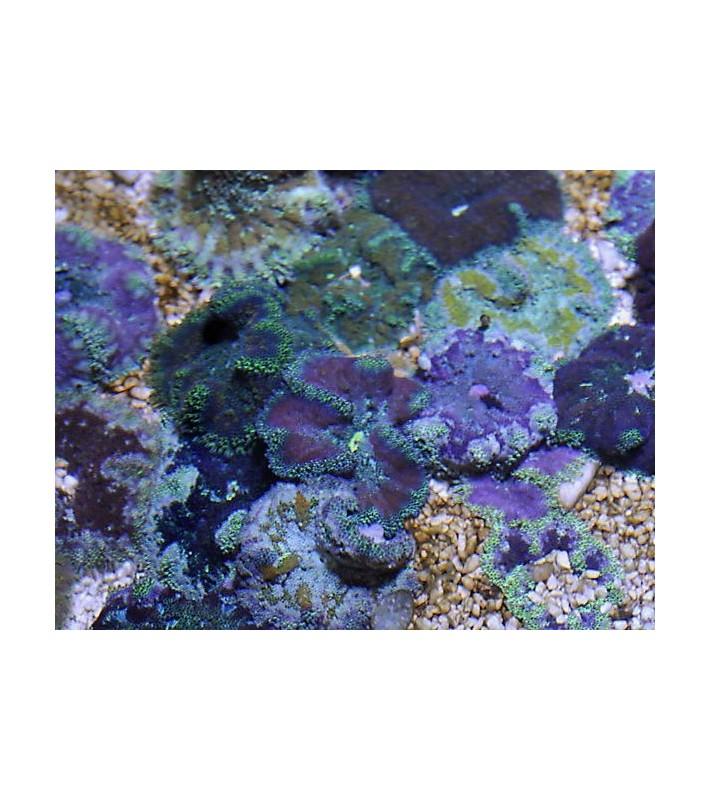 Stichodactyla tapetum coloured