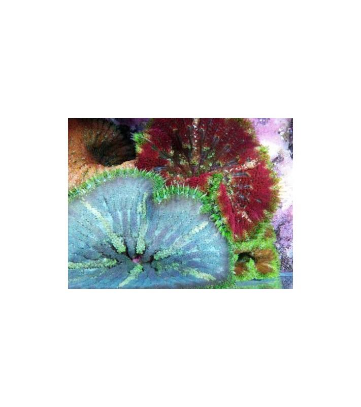 Stichodactyla tapetum super coloured