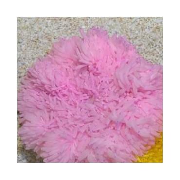 Heteractis crispa pink
