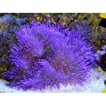 Heteractis crispa purple