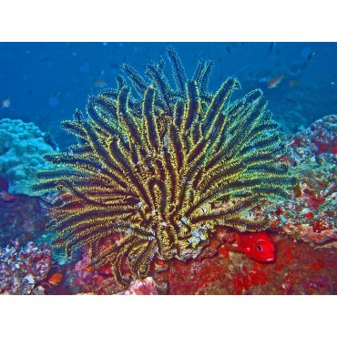 Comatula - Comanthus yellowish
