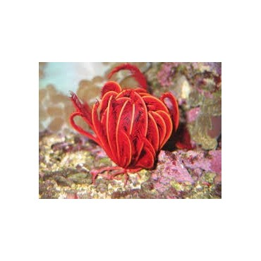 Comatula - Comanthus red