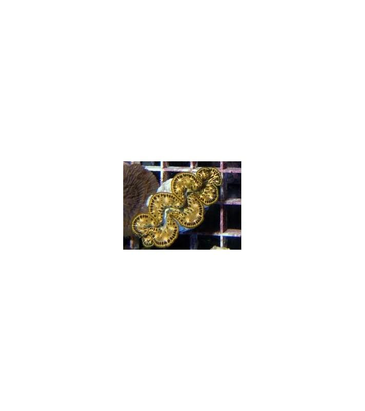 Tridacna maxima Yellow