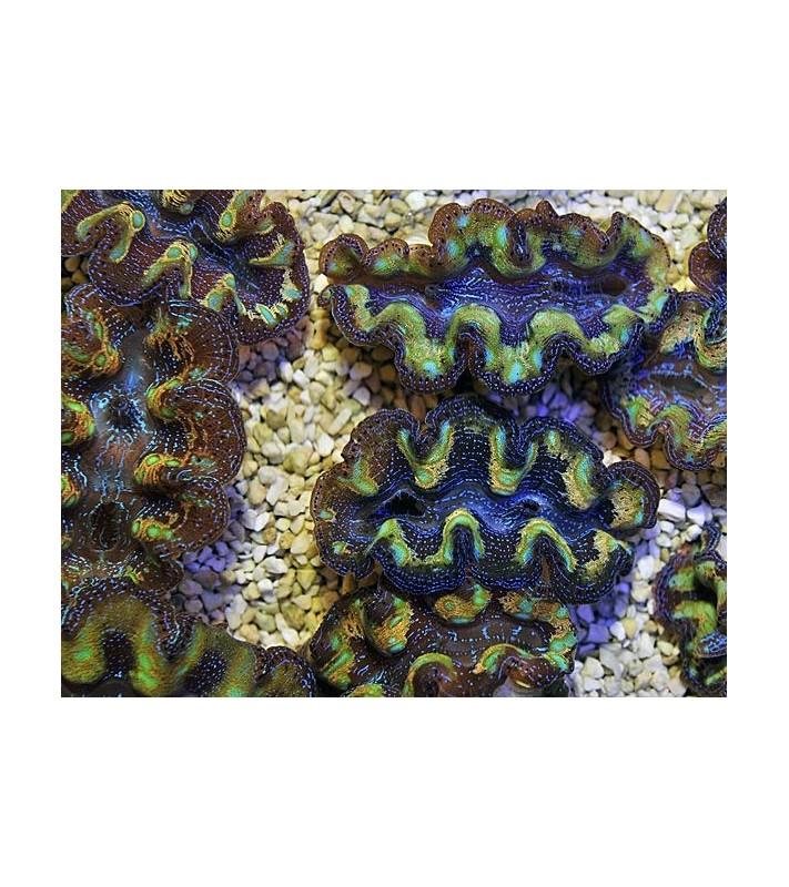 Tridacna crocea Blue