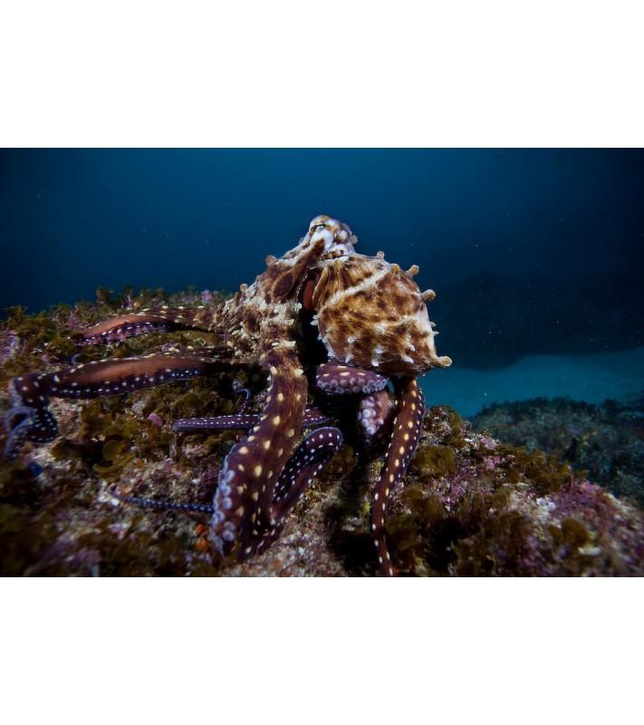 Octopus sp. Reef
