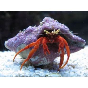 Paguristes cadenati Hermit crab red leg