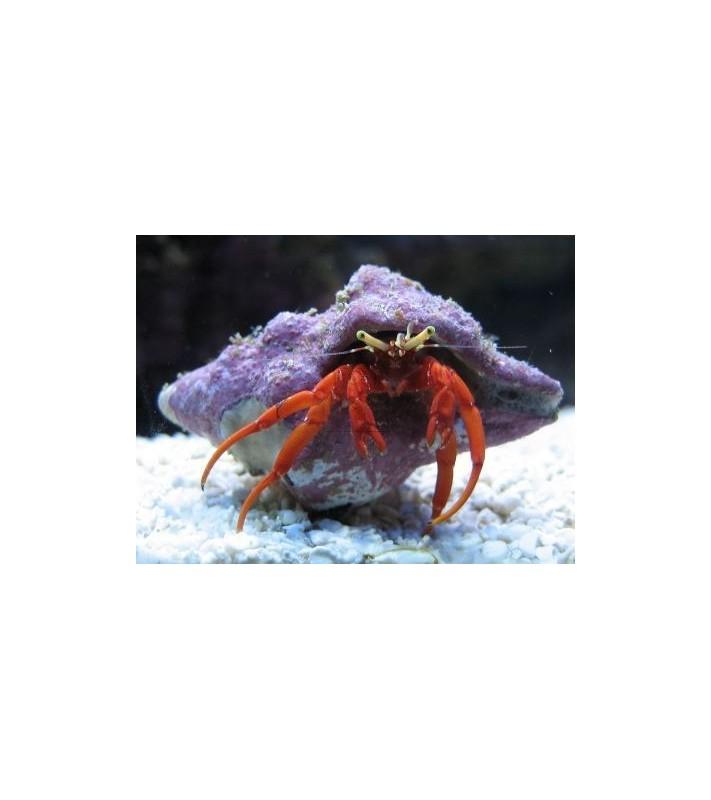 Paguristes cadenati (Hermit crab red leg)