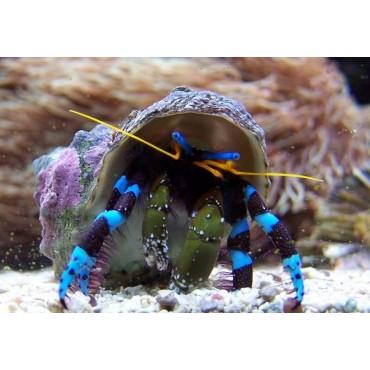 Calcinus elegans Hermit crab blue leg