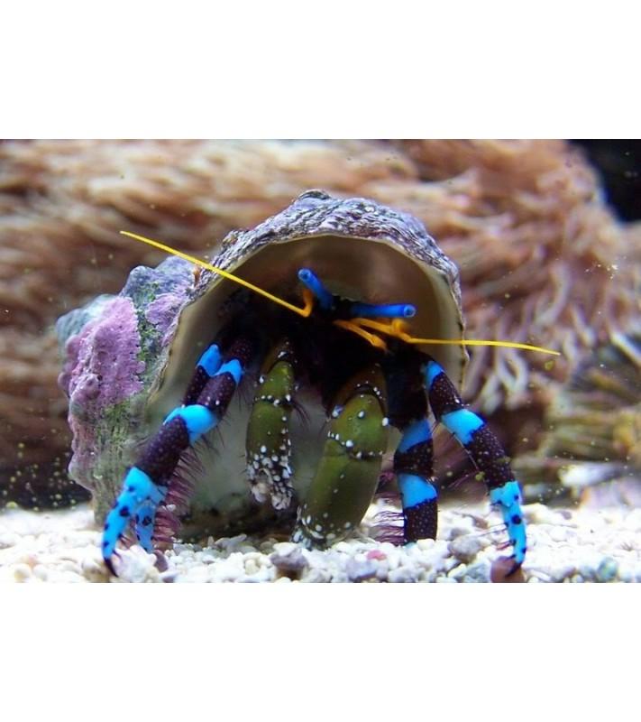 Calcinus elegans (Hermit crab blue leg)