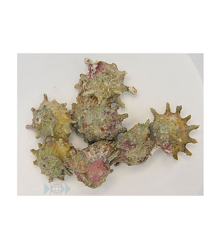 Astraea caelata (Spiny)
