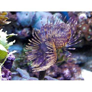 Sabellastarte purple-yellow