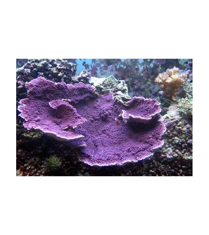 Montipora sp. Laminar Purple