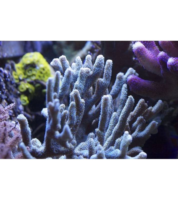 Montipora sp. Digitata Blue Polyp