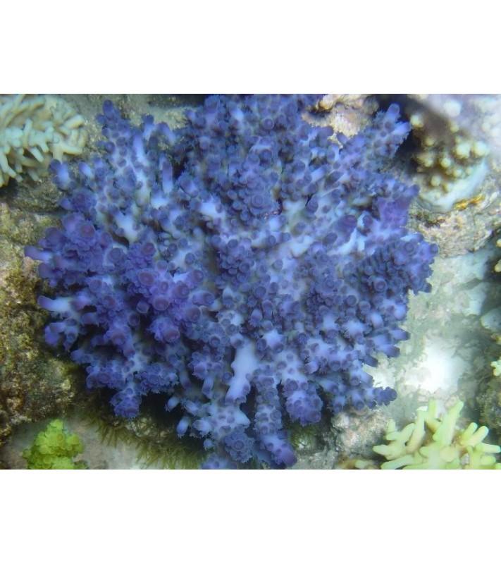 Acropora cerealis blue