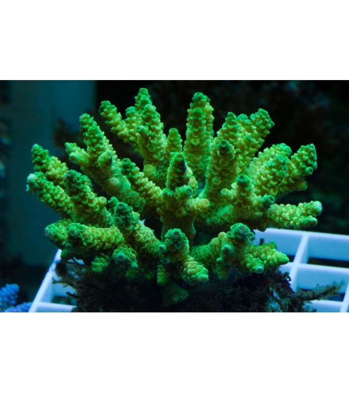 Acropora cerealis green