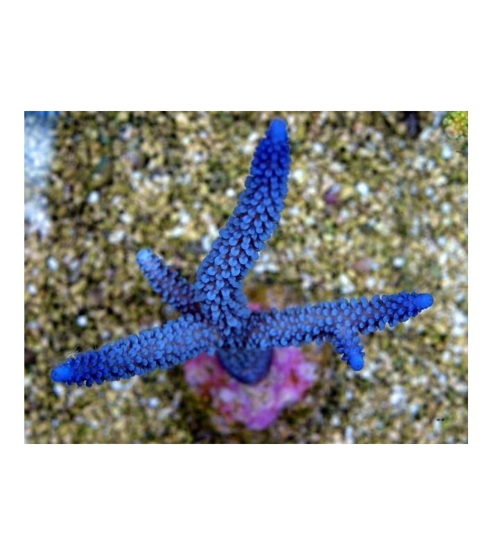 Acropora formosa blue tip