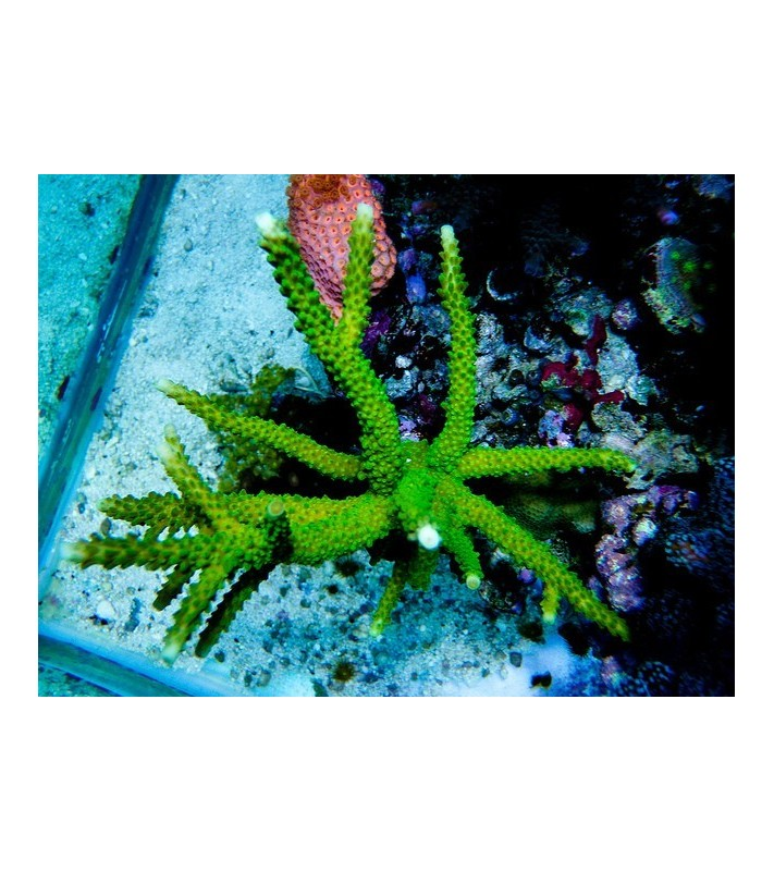 Acropora formosa green