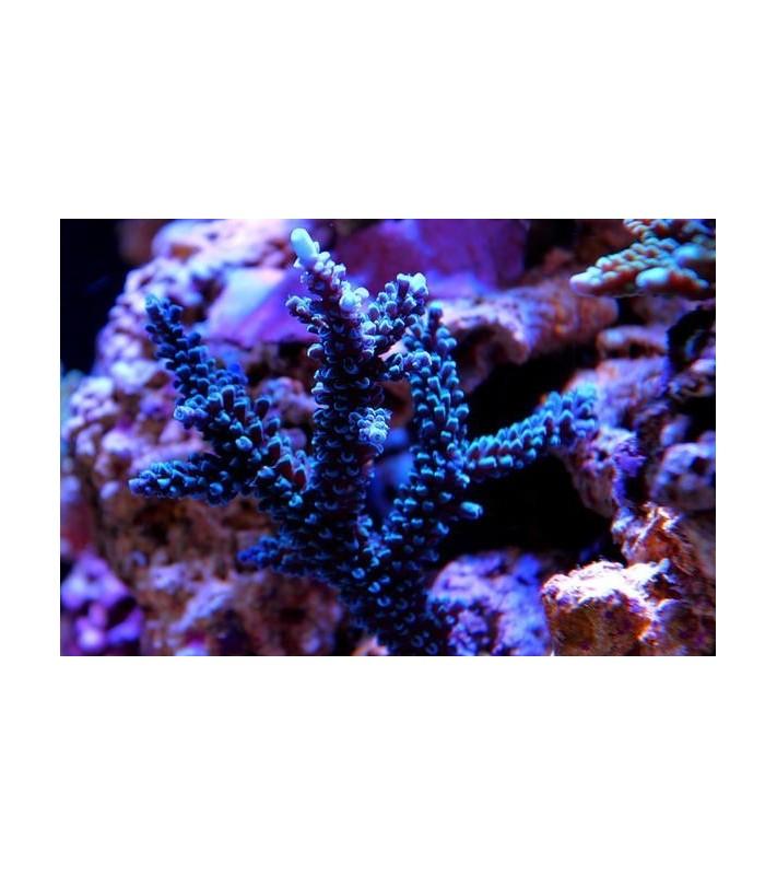Acropora hoeksema blue