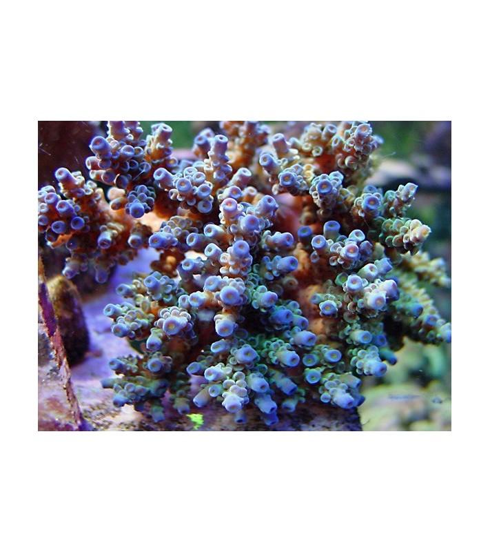 Acropora tenuis bluish