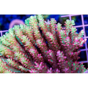Acropora microlados Strawberry shortcake