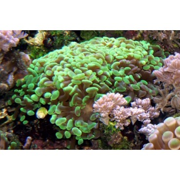 Euphyllia paraancora green