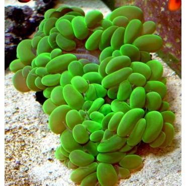 Plerogyra sinuosa Australie green