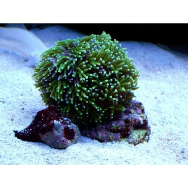 Galaxea fascicularis green