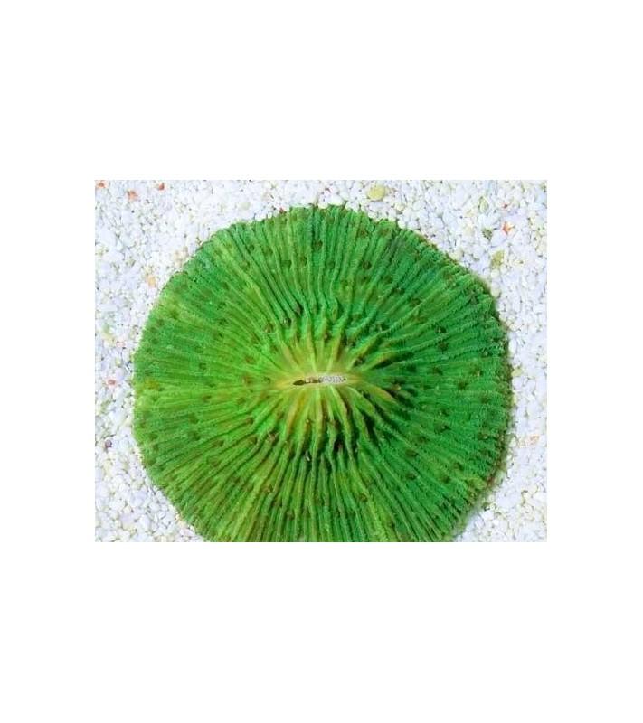 Cycloseris sp. green